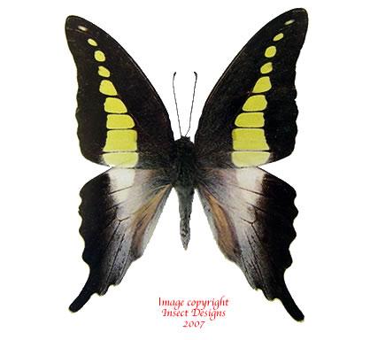 Graphium codrus noeli (Philippines)