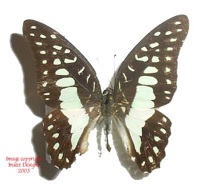 Graphium doson gyndes (Philippines)