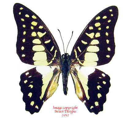 Graphium doson evemonides (Thailand) A2