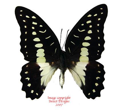 Graphium eurypylus pamphylus (Buton) a-