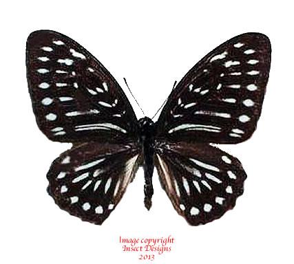 Graphium felixi (Biak)