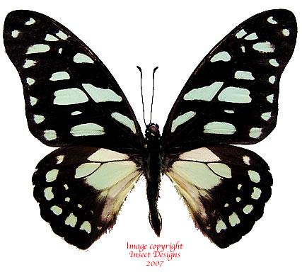 Graphium leonidas (RCA) A2