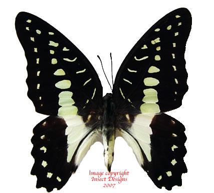 Graphium meyeri meyeri (Sulawesi) A-