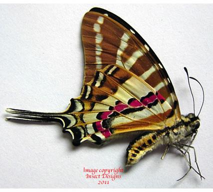 Graphium nomius swinhoei (Thailand) A-