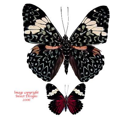 Hamadryas amphinome (Peru)