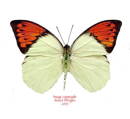 Hebomoia glaucippe celebensis (Sulawesi)