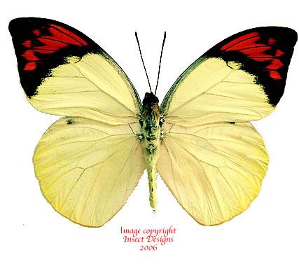 Hebomoia glaucippe sulphurea (Bachan)