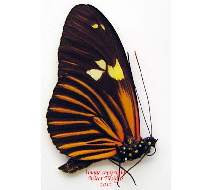 Heliconius burneyi (Peru)