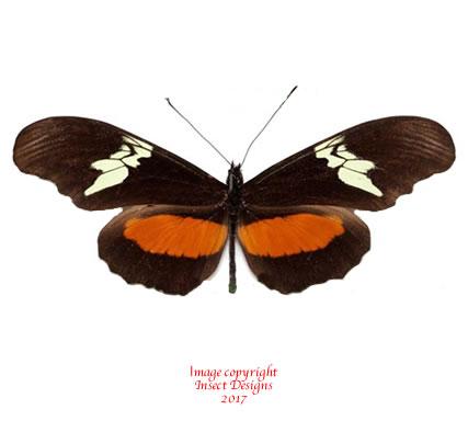 Heliconius hortense (Mexico) A2