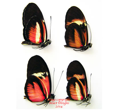 Heliconius hybrids (Costa Rica) - price is for 1 specimen
