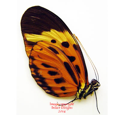 Heliconius numata euphone (Peru) A-