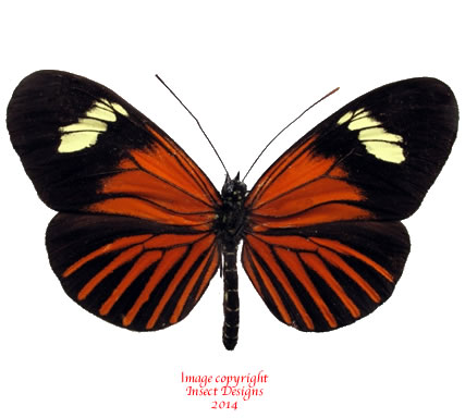 Heliconius xanthocles melior (Peru) A-