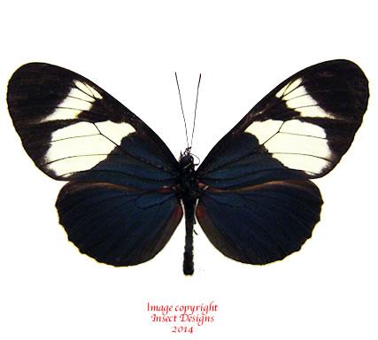 Heliconius eleuchia (Ecuador)