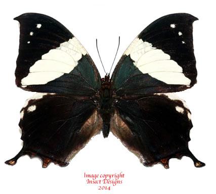 Hypna clytemnestra negra (Costa Rica) A2