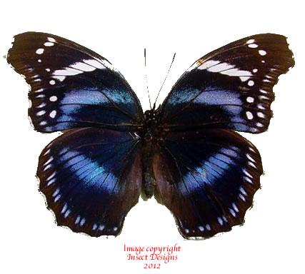 Hypolimnas antevorta (Tanzania) - B grade