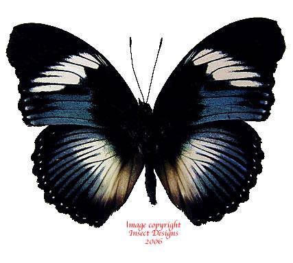 Hypolimnas monteironis (RCA)