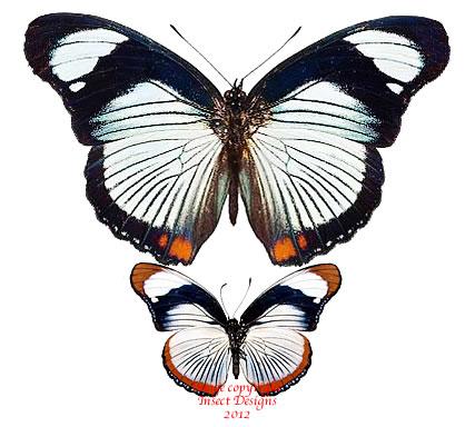 Hypolimnas usambara (Tanzania) A-