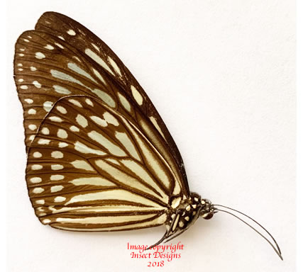 Ideopsis juventa kinitis (Philippines) A-