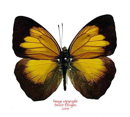 Ixias flavipennis (Sumatra)