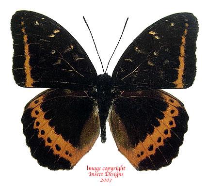 Lexias panopus boholensis (Philippines) A-
