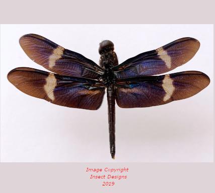 Libelulas sp. - blue (Peru) A2