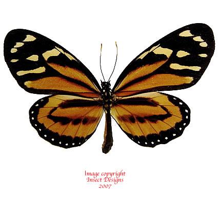 Lycorea cleobaea (Peru) A-