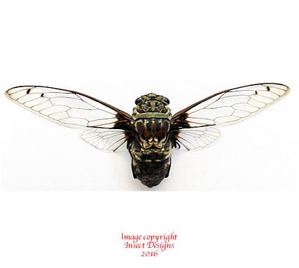 Macrotristia chantranei (Thailand)