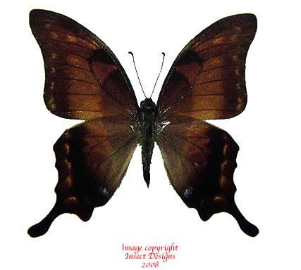 Meandrusa lachinus aribbas (Thailand) A1 and A-