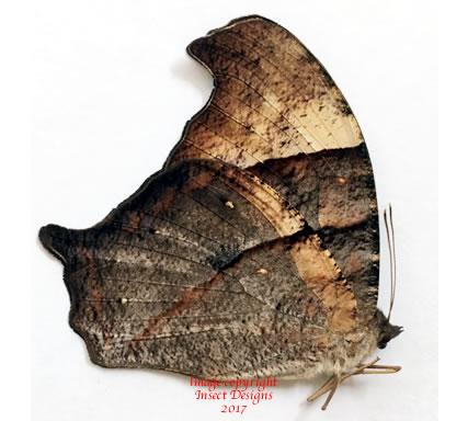 Melanitis boisduvali (Philippines)