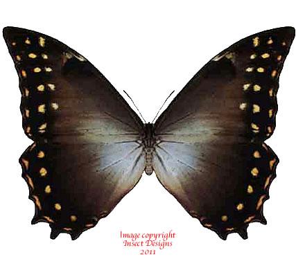 Morpho hercules amphitrion (Peru) A2