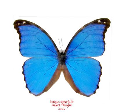 Morpho menelaus nestiria (Peru) A-