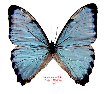 Morpho portis (Brazil) A1 and A2 - females