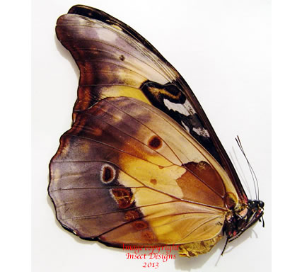 Morpho rhetenor julianticus female (Peru) A1-
