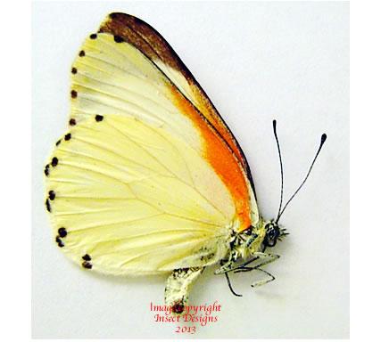Mylothris rubricosta (RCA)