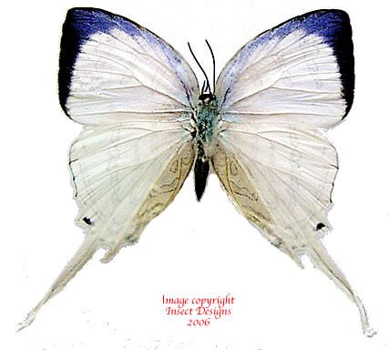 Neomyrina nivea nivea (Belitung) A1 and A2