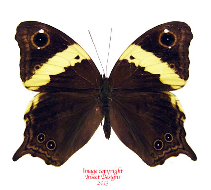 Neorina sp. (Java)