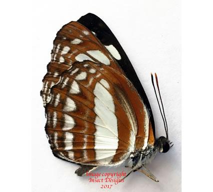 Neptis mindorana (Philippines)