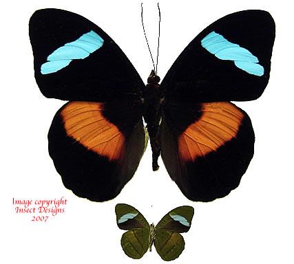 Nessaea obrinus (Peru)