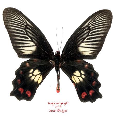 Pachliopta polydorus (Ceram) A2