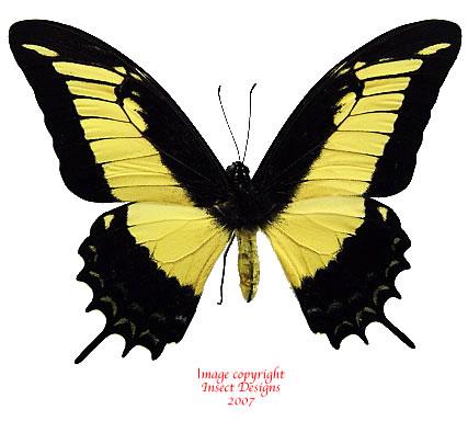 Papilio (Heraclides) androgeus (Peru)