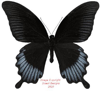 Papilio ascaphalus (Sulawesi)