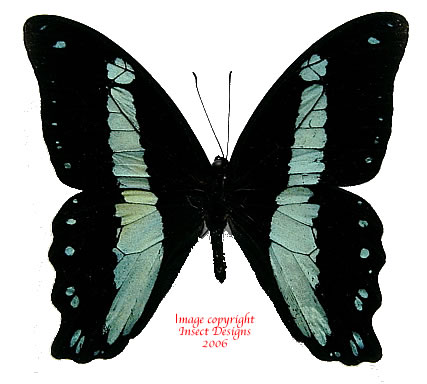 Papilio bromius (RCA)