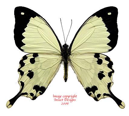 Papilio dardanus meriones (Madagascar) A2