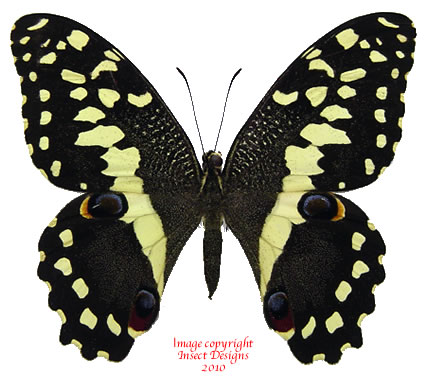 Papilio demodocus (Madagascar) A-