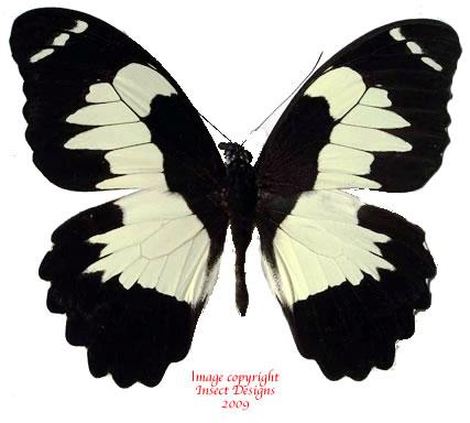 Papilio euchenor (Arfak)