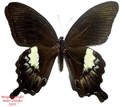 Papilio fuscus (Indonesia)