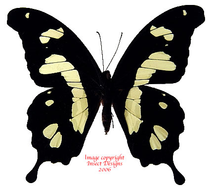 Papilio hesperus (Uganda) A2
