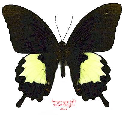 Papilio albinus (Arfak) A2