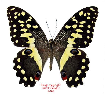 Papilio demodocus (RCA) A2