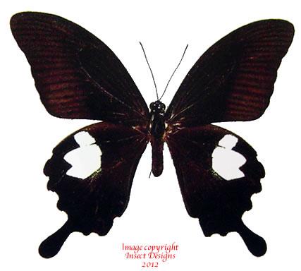 Papilio helenus (Thailand) A-